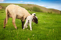 Little white lamb with mother sheep Stock Images