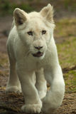 Little white lion cub Stock Images