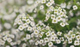 Little white Lobularia Maritima flowers Stock Images