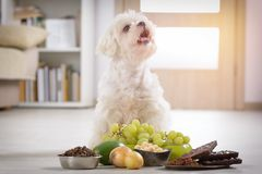 Little dog and food toxic to him. Little white maltese dog and food ingredients toxic to him Royalty Free Stock Photography