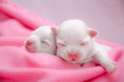 Little white Maltese puppies sleeping. Two little purebred Maltese puppy gently sleeping next to each other Stock Photo