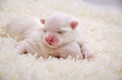 Little white Maltese puppies sleeping. Two little purebred Maltese puppy gently sleeping next to each other Stock Photography