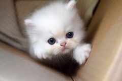 Small white kitten trying to escape a box. Little white persian kitten trying to climb up the wall of carton box to escape stock images