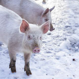 Little white pigs Stock Images