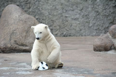 Little white polar bear with ball Stock Image