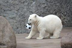 Little white polar bear with ball. Little white polar bear with soccer ball royalty free stock photo