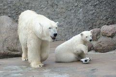 Little white polar bear with ball Royalty Free Stock Photo