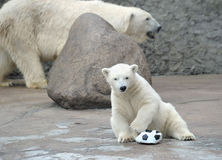 Little white polar bear with ball Stock Photo