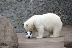 Little white polar bear with ball. Little white polar bear with soccer ball stock photography