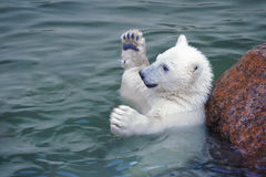Little white polar bear hands up. In water Stock Images