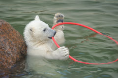Little white polar bear playing Royalty Free Stock Image