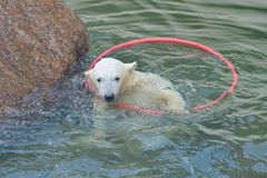 Little white polar bear playing Stock Photo