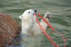 Little white polar bear playing Royalty Free Stock Images