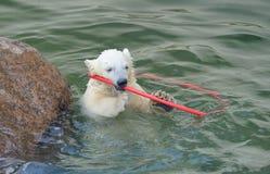 Little white polar bear playing Stock Images