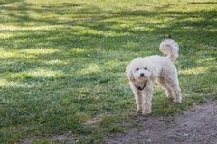 Little white poodle dog standing in green grass Royalty Free Stock Image