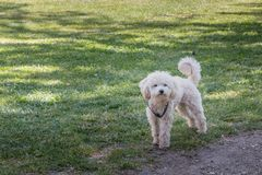 Little white poodle dog standing in green grass Royalty Free Stock Images
