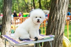 Little white poodle sits on a table after grooming in a dog show stock images