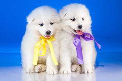Little white puppies of Samoyedskaja dog Royalty Free Stock Photo