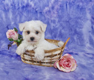 Little White Puppy. Sitting in a basket with pink roses on a purple background Stock Photos
