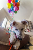 Little white puppy with black spots. Puppy burst balloon and chews him on the couch. Royalty Free Stock Images