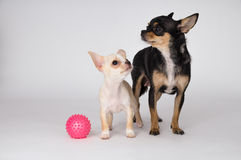 Little white puppy chihuahua standing next to mom stock images