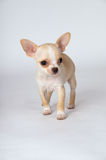 Little white puppy chihuahua to run to a meeting stock images