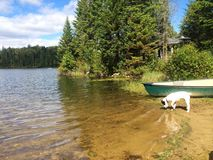 Little white puppy dog in the country on the water with boat. Fishing boat lake clear water reflection green white curious adventure escape weekend dogs dog Royalty Free Stock Images