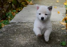 Little white puppy Royalty Free Stock Image