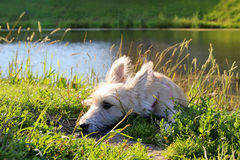 Little white puppy is lying on a grass in a park near to the lake. Stock Image
