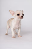 A little white puppy standing Royalty Free Stock Image