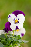 Little white with purple pansy Royalty Free Stock Photos