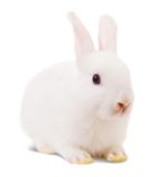 Little white rabbit Stock Image