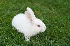 Little white rabbit Royalty Free Stock Photo