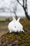 Little white rabbit Stock Photography
