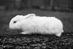 Little white rabbit Stock Photography
