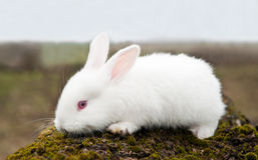 Little white rabbit Royalty Free Stock Photography