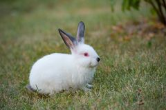 Little white rabbit with black ears and red eyes on green grass. The Little white rabbit with black ears and red eyes on green grass in summer day Royalty Free Stock Photo