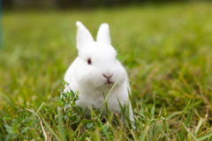 The little white rabbit Royalty Free Stock Photography
