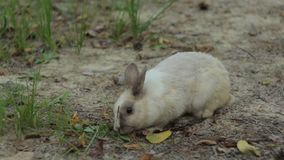 Little White Rabbit Feeds. Little white baby rabbit feeds with some grass sitting on the ground 1080p, 25 fps stock video