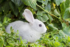 Little white rabbit Stock Images