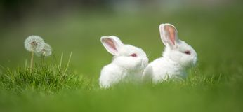 Baby white rabbit in grass Stock Image