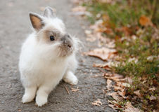 Little white rabbit. Sitting on asphalt road near grass Royalty Free Stock Photography