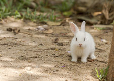 Little white rabbit Royalty Free Stock Images