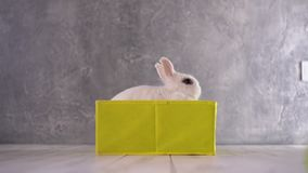 Little white rabbit sitting in a yellow box. His pink ears stick out of the box stock footage