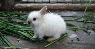 Little white Rabbit. In zoo.He& x27;s a little white fluffy, with big eyes and ears Royalty Free Stock Images