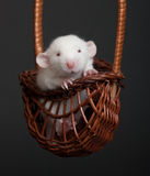 Little white rat Stock Image