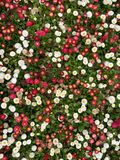 Little white and red flower background royalty free stock photography