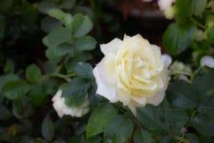 Little white rose flower bloom Stock Image