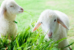 Little white sheep Royalty Free Stock Photography