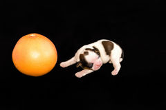 Little white shih tzu pup with grape-fruit Royalty Free Stock Images